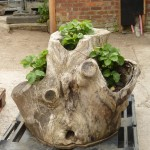 Stump Planter1